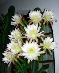 Peruvian Apple Cactus, Two Large Cuttings, One Tip and One Trunk, Nine inches Long Each, Cereus Peruvianus, Repandus, pitaya, FREE EXPIDITED SHIPPING by awco1988 (Image #8)