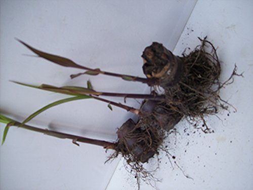 Sugarcane Plants for Sale Root Stock Organic 4 Germinated Purple/red/black