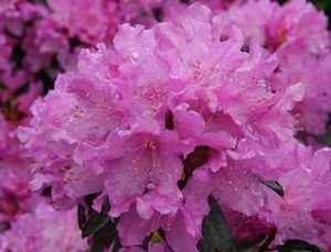 Amazon rhododendron checkmate large five gallon plant rhododendron checkmate large five gallon plant flowering shrub compact grower with small pink mightylinksfo