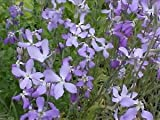 Evening Scented Stock-3000 Seeds (Matthiola longipeta) Perfume Plant,Cold Hardy