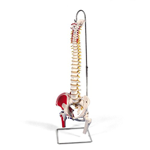 3B Scientific A58/3 Classic Flexible Spine Model with Femur Heads and Painted Muscles, 32.7