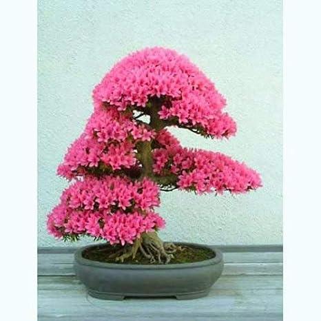 árbol De Judas Cercis Siliquastrum 40 Semillas De Bonsái Raro árbol Kitchen Dining