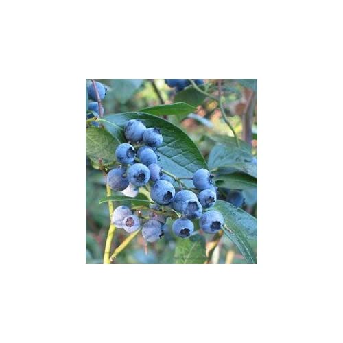 *Seeds and Things 100+ Highbush Blueberry Seeds Blueberries-- for cheap