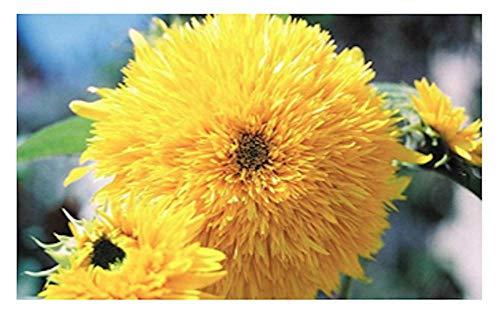 Dwarf Teddy Bear - Teddy Bear Sunflower, aka Dwarf Sungold Sunflower Seeds, 60+ Premium Highest Quality Heirloom Seeds, Cute Addition to Your Home Flower Garden! (Isla's Garden Seeds), 90% Germination