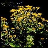 Herb Seeds - Elecampane - 60 Seeds