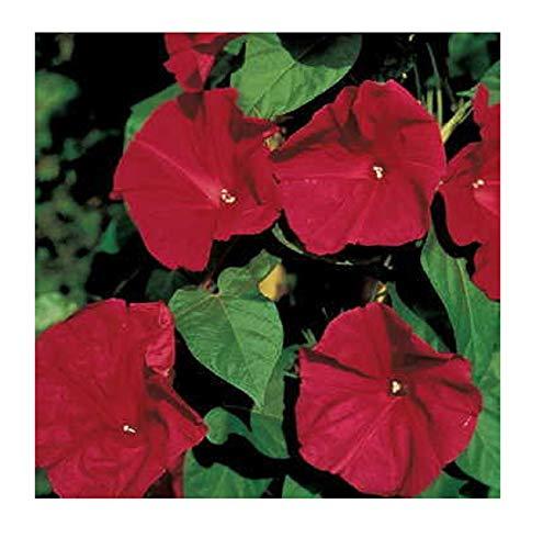 David's Garden Seeds Flower Morning Glory Scarlet O'Hara AQ8974 (Red) 50 Non-GMO, Open Heirloom ()
