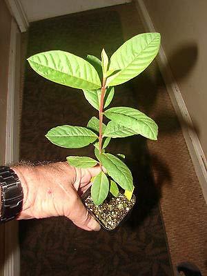 3 Fruit Sweet Psidium Guajava Orange Flesh Guava Fruit Tree Small Potd Plant by MANGO (Image #1)