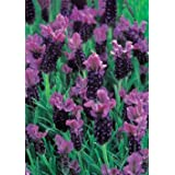 Richters French Lavender Seeds