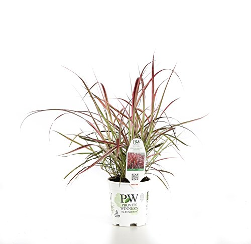 UPC 738793112388, Graceful Grasses Fireworks Variegated Red Fountain Grass (Pennisetum) Live Plant, Green and Pink Foliage, 4.5 in. Quart