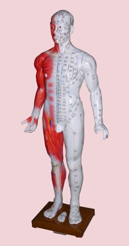 Acupuncture Human Body Model (SM-8)