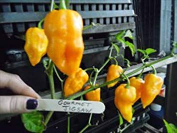 (ANVIN Germination Seeds:Yellow Gourmet Jigsaw Pepper Seeds -Extremely See Our Store)