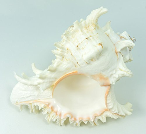 Murex Ramosus Shell | 1 Murex Sea Shell | 7-9