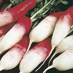 Seed Kingdom Radish French Breakfast Great Heirloom Vegetable BULK 1 Lb Seeds