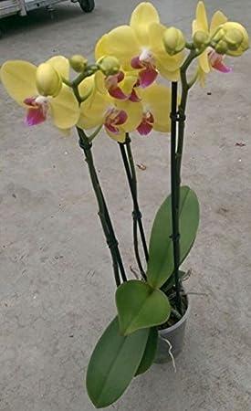 orchidee a fleurs en epis