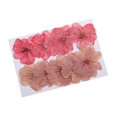 MonkeyJack 10 Pieces Beautiful Pressed Dried Sakura Flowers Cherry Blossom for Scrapbooking by MonkeyJack