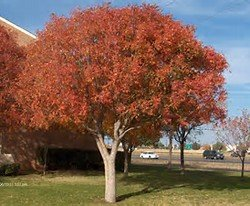 15 Seeds Chinese Pistache Pistacia chinensis USA, Bonsai or Ornamental Tree