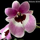 1 Orchid Miltoniopsis Boulivout Live Plant