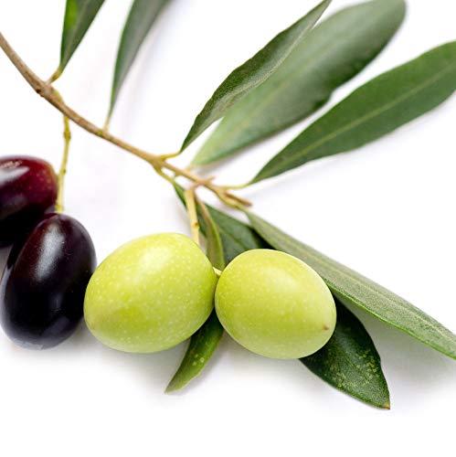 Leccino - Olea europaea Olive Tree Live Plant Food Garden Drought Tolerant