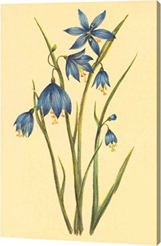 Large Flowered (Large Flowered Blue Eyed Grass by PI Collection - 9
