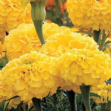 Park Seed Park's Whopper Yellow Marigold Seeds