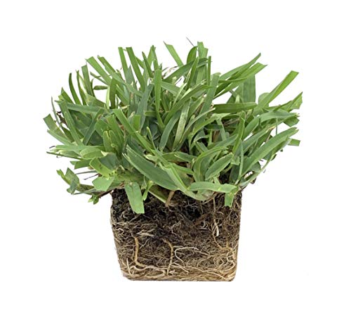 Palmetto St. Augustine Grass Plugs / Box of 72