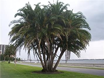 10 Live Senegal Date Palms With Growing Instructions