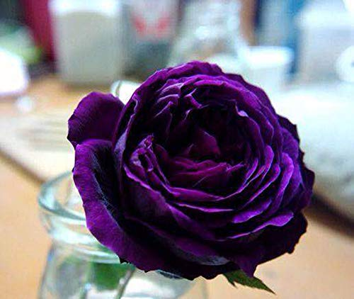 Colorful Rose hep Flower Seeds for Home Balcony Garden Yard Potted Decoration, 50 Seeds (Royal Palace)