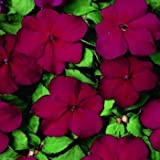 Outsidepride Impatiens Cranberry - 100 Seeds