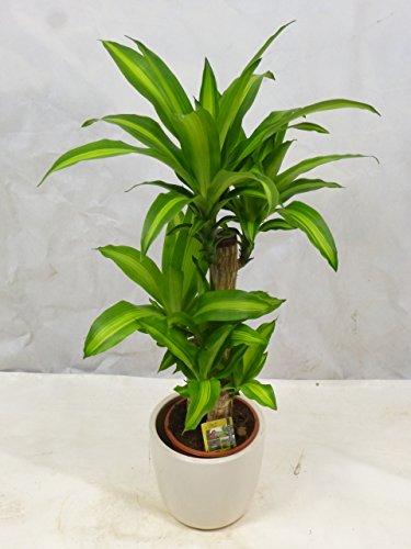 Dracaena massangeana 100/110 cm - Drachenbaum - 3er Tuff // Zimmerpflanze