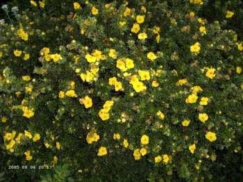 50 Stk. Potentilla fruticosa 'Sommerflor' - (Fingerstrauch 'Sommerflor')- Topfware 20 - 30 cm