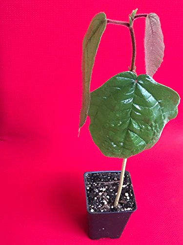 New and Healthy Cupuassu Theobroma Grandiflorum Cupuacu Brazil Cacao Fruit Tree Potted - Usps Brazil To Ship