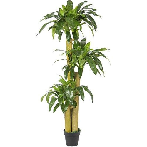 House Plants Dracaena - 7