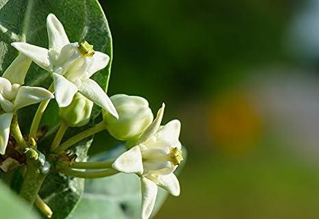 Asclepias Incarnata-Rose Milkweed-Semi Freschi