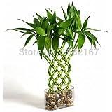 2014 Sale Rushed Seedsbonsia Baum Mixed 20 Glücksbambus Samen, Topf Balkon, Pflanzen ist einfach, Budding Rate von 95%