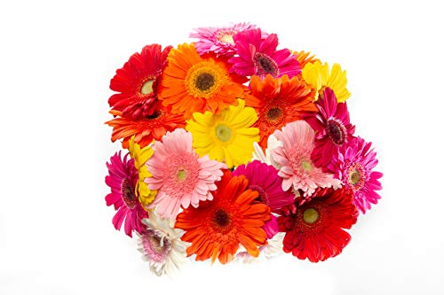 15 Stem Multicolored Gerbera Daisy Bouquet with Mix of Pink, Red, White, Yellow, Orange Flowers for Centerpieces and Long Vase Life, Vase Not Included