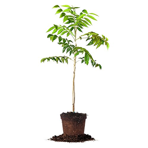 CREEK PECAN TREE - Size: 5 Gallon, live plant, includes s...