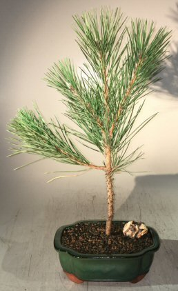 Bonsai Boy's Japanese Black Pine Bonsai Tree - Medium pinus thunbergii by Bonsai Boy