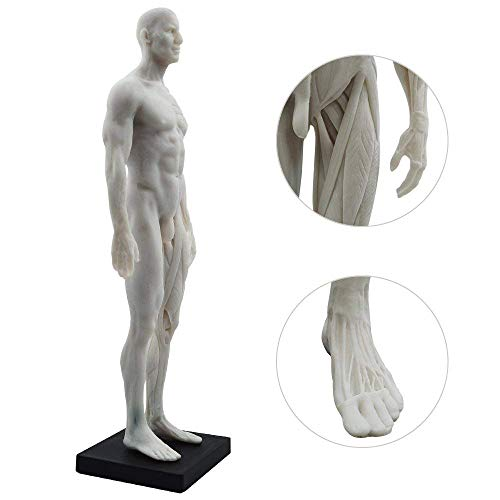 MedFrom 11-inch Male Anatomy Figure Anatomical Reference for Artists (White)