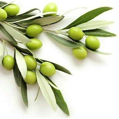 AchmadAnam - Live Plant - Olive Coratina Olea Europaea Tree 3-Inch Deep Pot Indoor-Outdoor Plant : Garden & Outdoor