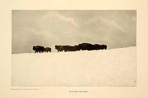 1903 Print Yellowstone National Park Buffalo Herd Wildlife Animals Image XGFD2 - Original Halftone Print from PeriodPaper LLC-Collectible Original Print Archive