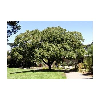 Amazon com : CARPATHIAN ENGLISH WALNUT TREE - 2 year old