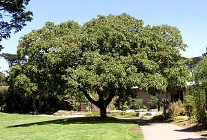 Tulare English Walnut Tree - 7 (English Walnut Tree)