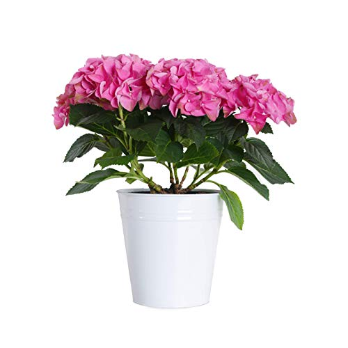 (Plants by Post Gallon Live Pink Hydrangea in White Tin Pot)