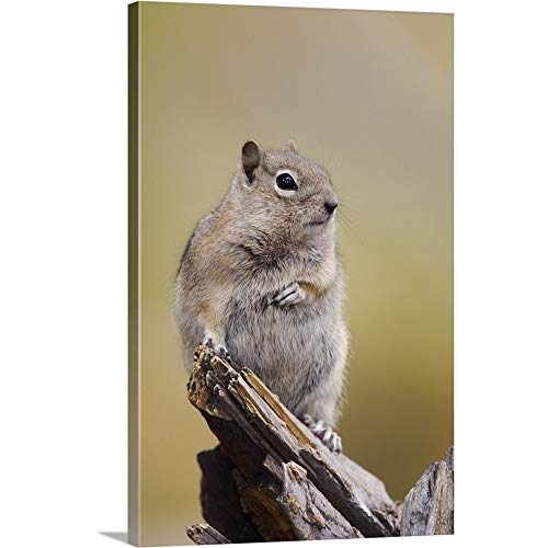 GREATBIGCANVAS Gallery-Wrapped Canvas Entitled Golden-Mantled Ground Squirrel by Rolf Nussbaumer - Furniture Log Mountain Rocky