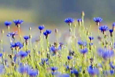 Amazon.com: Bajo creciente Wildflower mezcla de semillas ...