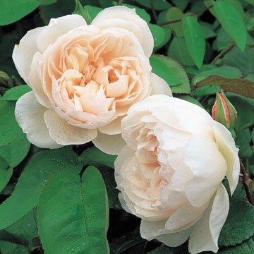 Amazon.com : David Austin English Roses The Generous Gardener ...