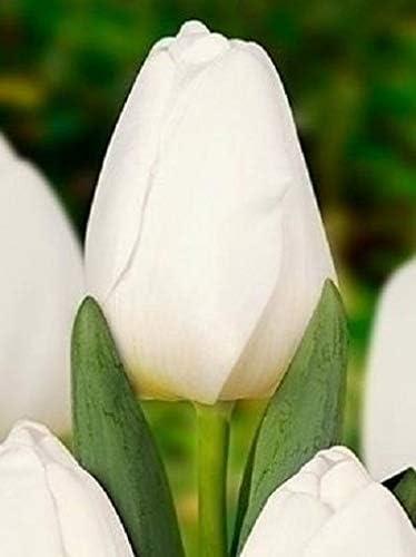 Fiori Bianchi Profumati.Bulbi 100 Pezzi Tulipano Antarctica Fiori Bianchi Perenni Da