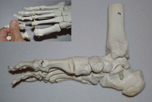 Wellden Anatomical Foot Demonstration Model, Elastic, Flexible, Life Size,
