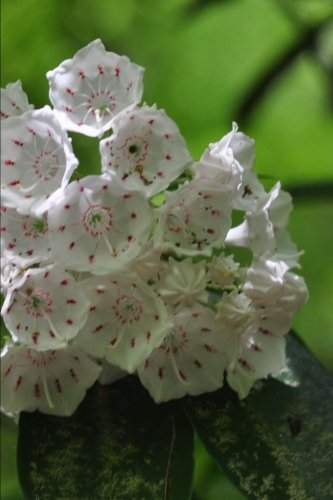 Pennsylvania State Flower - Mountain Laurel Journal: 150 page lined notebook/diary