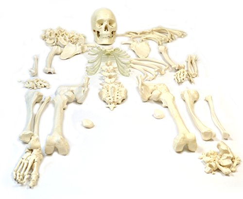 Disarticulated Human Skeleton, Full, Medical Quality, Life Sized